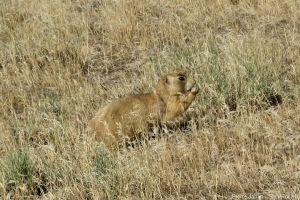chien de prairie